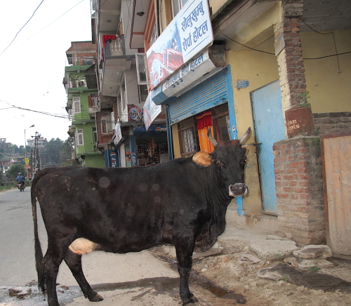 cow in ktm