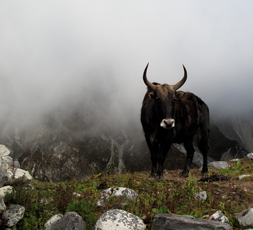 yak in mist